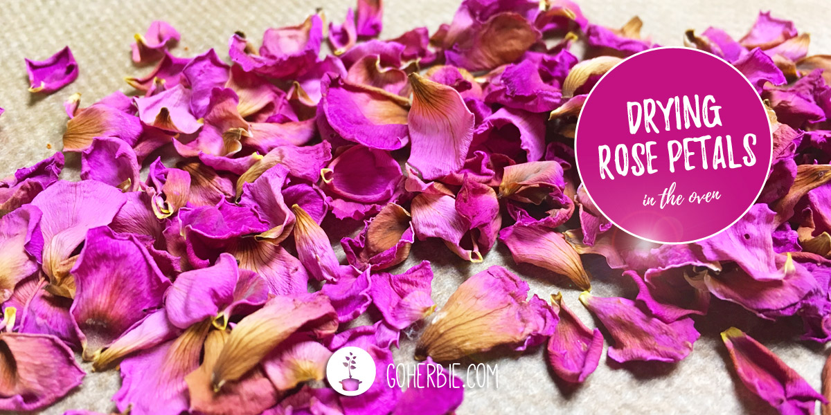 How to dry rose petals in the oven? (dog rose) - goherbie