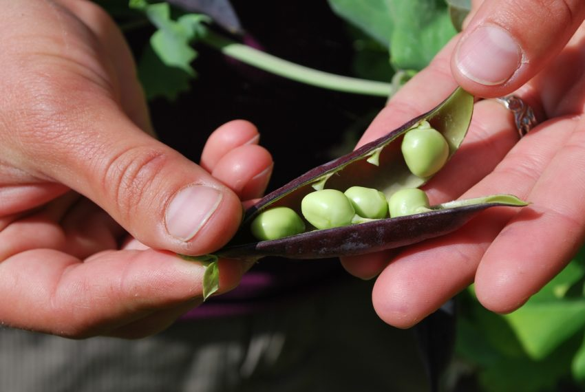 Peas protein